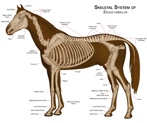Equine Pelvic Limb Bones http://en.wikipedia.org/wiki/Skeletal_system_of_the_horse