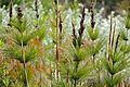 Horsetail Restio (Elegia capensis) (32140694784).jpg