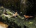 House Sparrow female erythristic by Dr. Raju Kasambe DSCN8903 (1).jpg