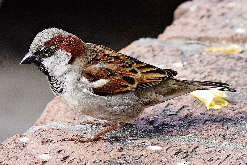 Ptice  800px-House_sparrowIII