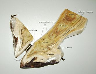 Comparative foot morphology - Section of a horse foot