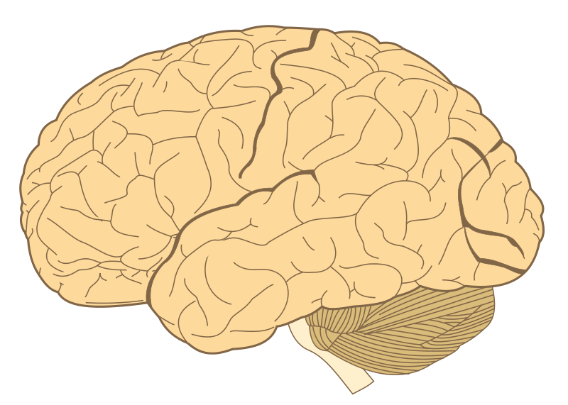 File:Human-brain.SVG