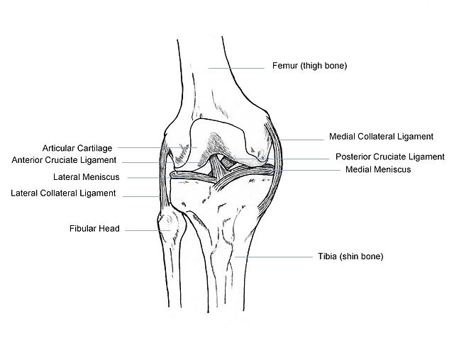 Filehuman Knee Anatomyg Wikimedia Commons