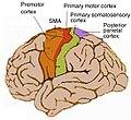 Human motor cortex.jpg