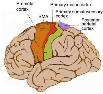 Motor cortex - Topography of human motor cortex