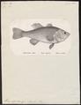 Huro nigricans - 1809-1845 - Print - Iconographia Zoologica - Special Collections University of Amsterdam - UBA01 IZ13000080.tif