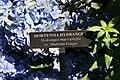 Hydrangea macrophylla Mathilda Gutges 0zz.jpg