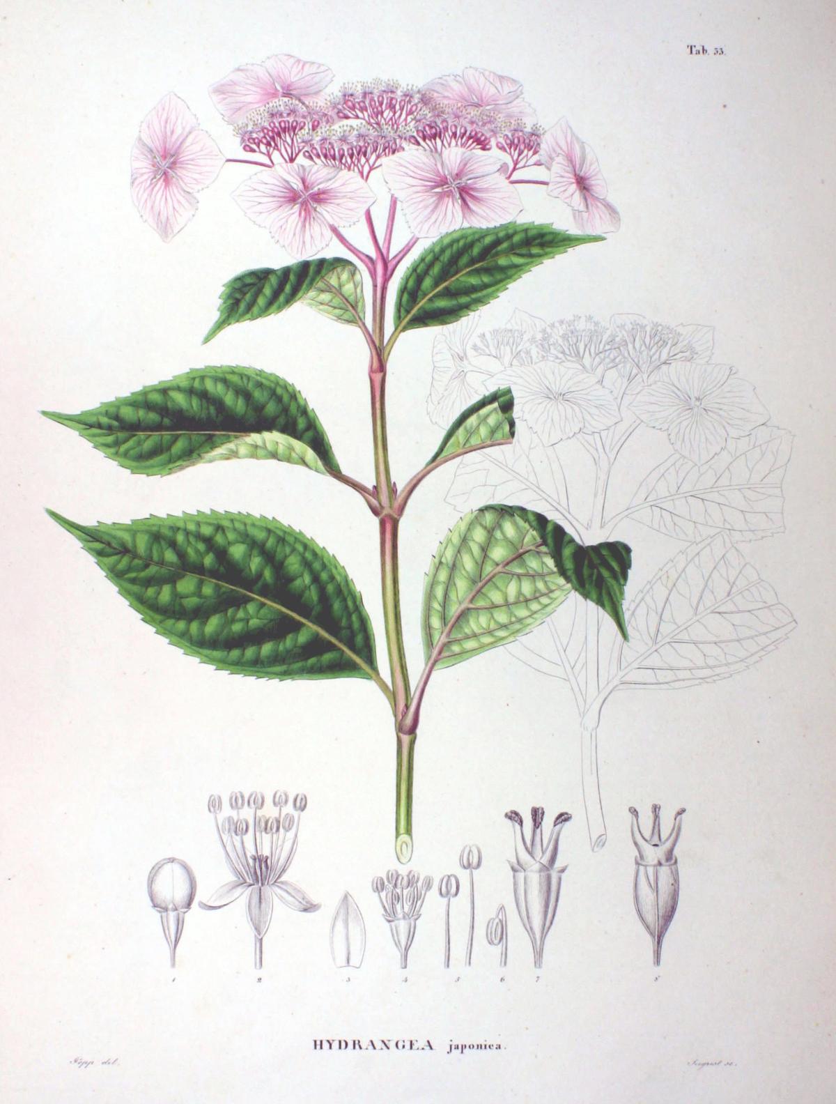 Hydrangea macrophylla wikip dia - Maladie des hortensias photos ...