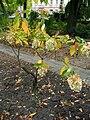 Hydrangea paniculata.jpg