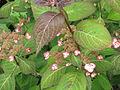 Hydrangea serrata Kiyosumi (19067671586).jpg