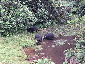 Harenna Forest - Giant forest hogs in the Harenna Forest, Bale Mountains NP, Ethiopia