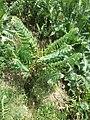 Hyoscyamus niger sl26.jpg