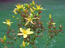 johanniskraut hypericum perforatum geschnitten 500 gr m c spice ebay. Black Bedroom Furniture Sets. Home Design Ideas