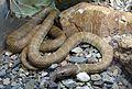 Hypomelanistic Kingsnake. Lampropeltis getula - Flickr - gailhampshire.jpg