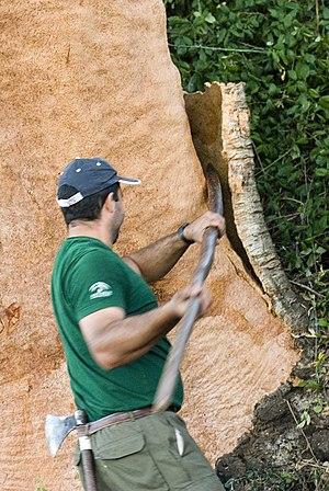 Quercus suber - Image: IAPH Saca del corcho