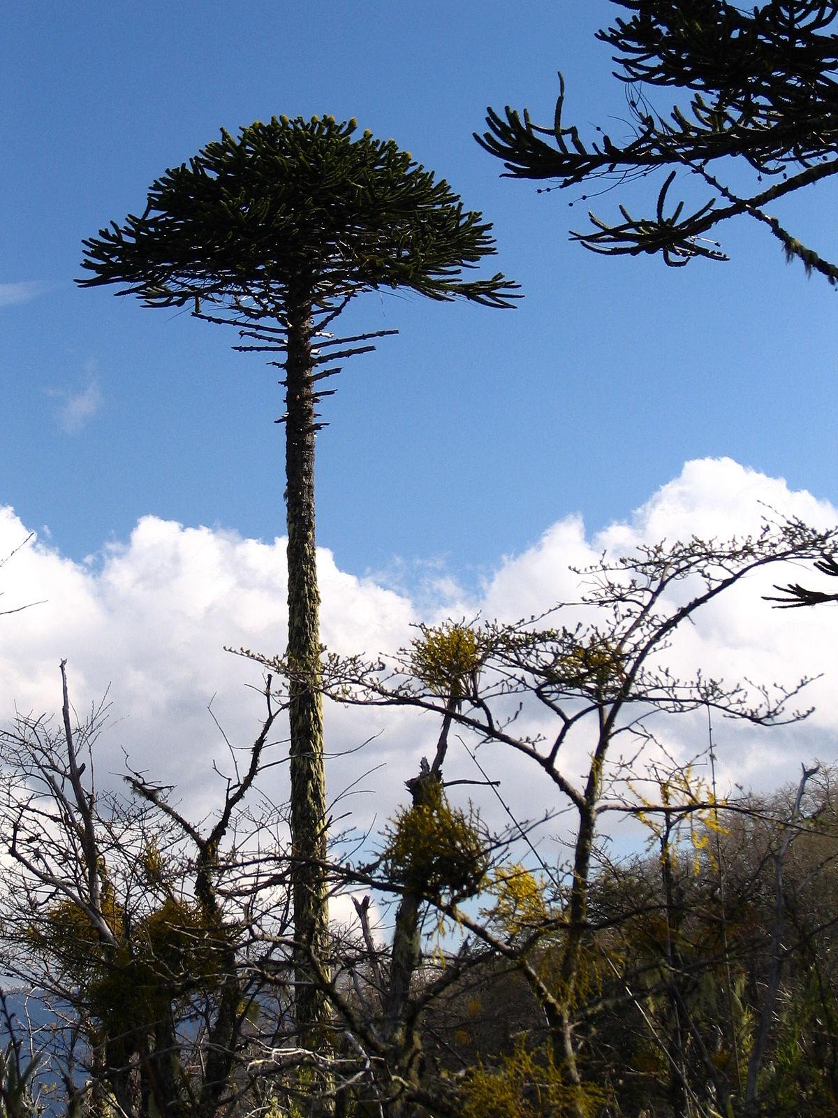 araucaria araucana wikipedia