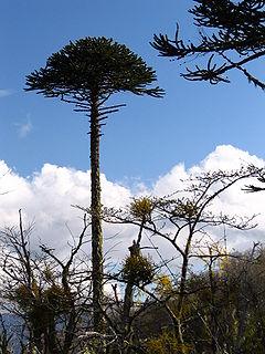 Araucaria araucana en la Ĉiliaj Andoj.