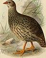 Ibis (1900) (14564968718).jpg