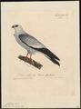 Ictinina mississipiensis - 1825-1834 - Print - Iconographia Zoologica - Special Collections University of Amsterdam - UBA01 IZ18200378.tif