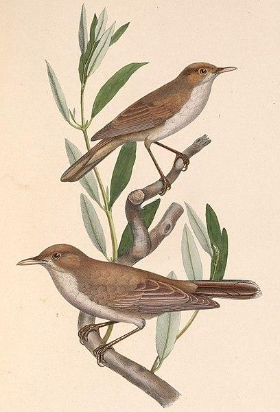 File:Iduna pallida elaeica & Hippolais olivetorum 1849.jpg
