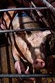 Igualdad Animal - Investigación Granjas Cerdos Toledo - 15-06-2010 - 16 (6992320538).jpg