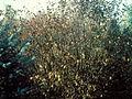 Ilex verticillata 1480227.jpg