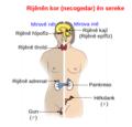 Illu endocrine system New ku.png