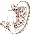 Illu stomach.jpg