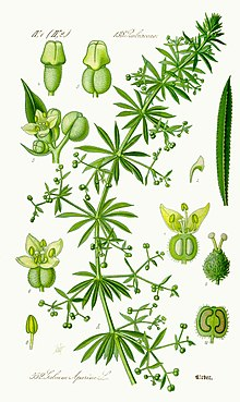 Roomav madar Galium aparine
