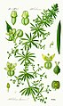 Illustration Galium aparine0.jpg