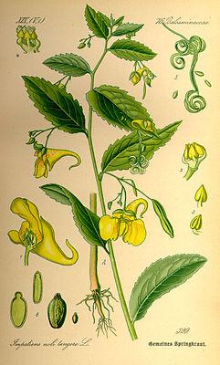 Großes Springkraut (Impatiens noli-tangere), Illustration