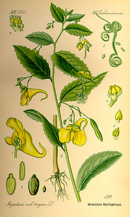 Illustration Impatiens noli-tangere0