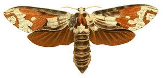 <i>Strigocossus crassa</i> species of insect