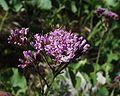 Image-Adenostyles alpina du 16072004 corymbe.JPG