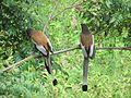 Indian Treepie.jpg