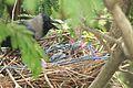 Indian crow nest.jpg