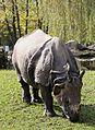 Indisches Panzernashorn Rhinoceros unicornis Tierpark Hellabrunn-11.jpg
