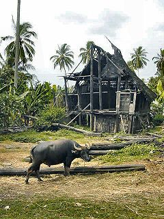 Water Buffalo from Indonesia
