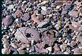 Ipomopsis polycladon- synonym Gilia polycladon plant in SW Idaho 3.jpg