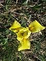 Iris humilis subsp. arenaria sl10.jpg