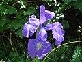 Iris latifolia 2.JPG