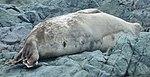 Islas Yalour 11, foca.jpg