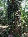 Ivy plant hedera 2.jpg