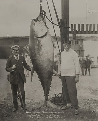 J. K. L. Ross - Ross with his catch – the largest tuna (680 lbs) in the world ever caught by rod and line, at St. Anns, Nova Scotia, 1911