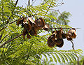 Jacaranda (Jacaranda mimosifolia) fruits in Hyderabad, AP W IMG 6737.jpg