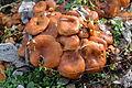 Jack-o'-lantern Mushrooms (Omphalotus illudens) (11695721013).jpg