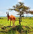 Jackson's Hartebeast, Uganda (15144422466).jpg