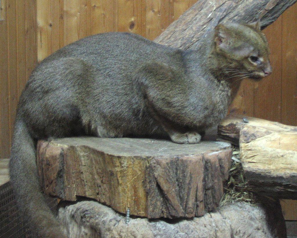 https://upload.wikimedia.org/wikipedia/commons/thumb/3/33/Jaguarundi_seitlich.jpg/1024px-Jaguarundi_seitlich.jpg