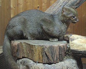gepard steckbrief wikipedia
