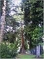 January Frost Botanic Garden Freiburg Giant Redwood - Master Botany Photography 2014 - series Germany Diamond pictures - panoramio.jpg